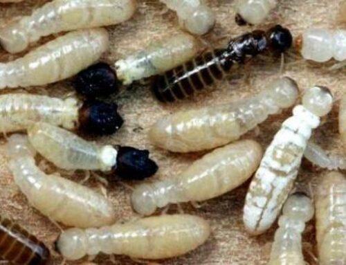 شركة مكافحة الرمة في دبي |0543331609 |مكافحة حشرات